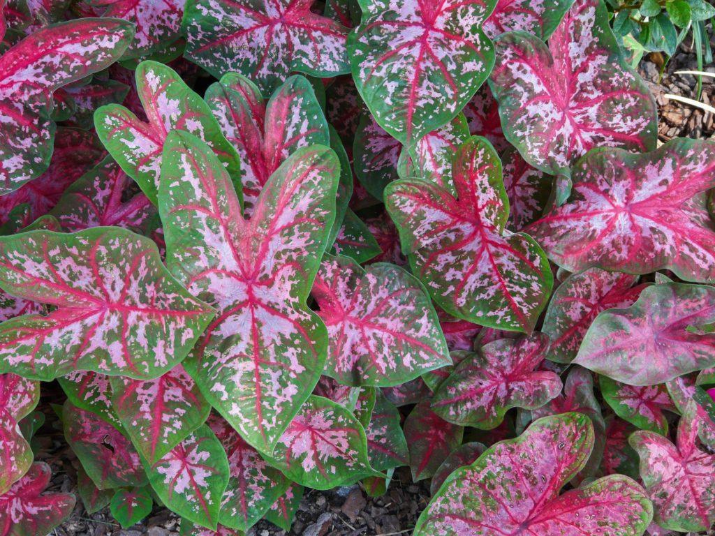 Листья каладиума