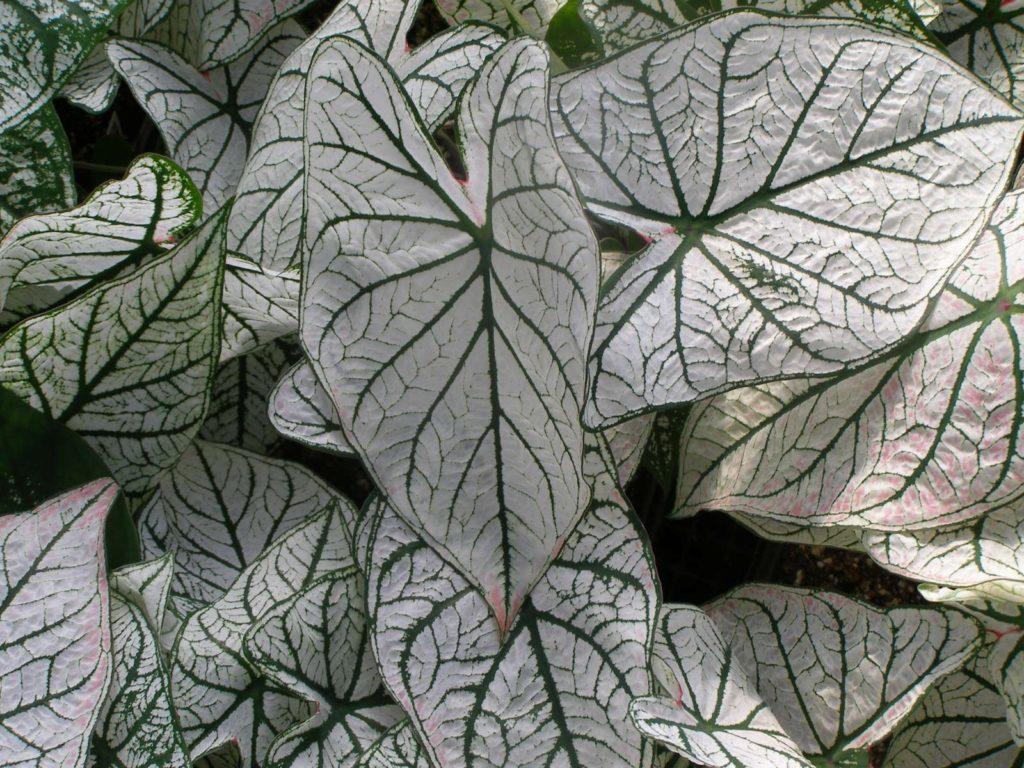 Виды каладиума