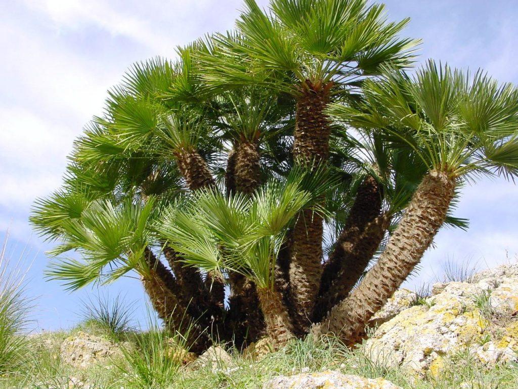 Освещение для пальмы Хамеропс