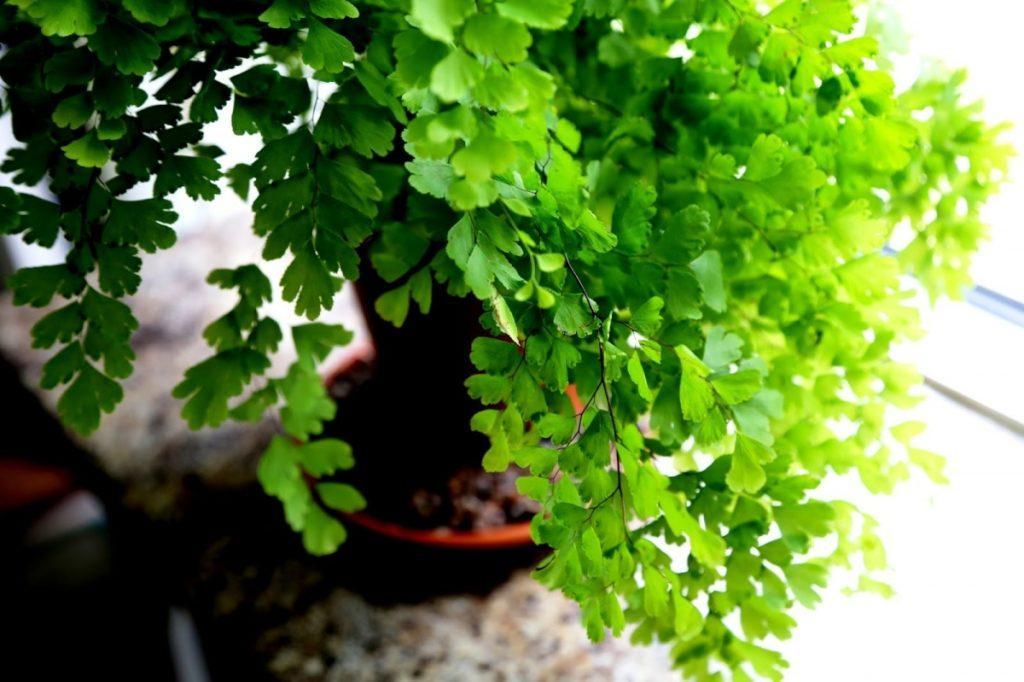 Цветок гетеропанакс: как ухаживать в комнатных условиях
