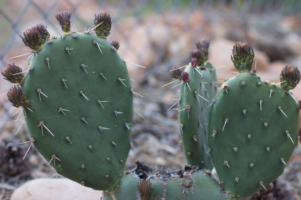 Уход за кактусом опунция