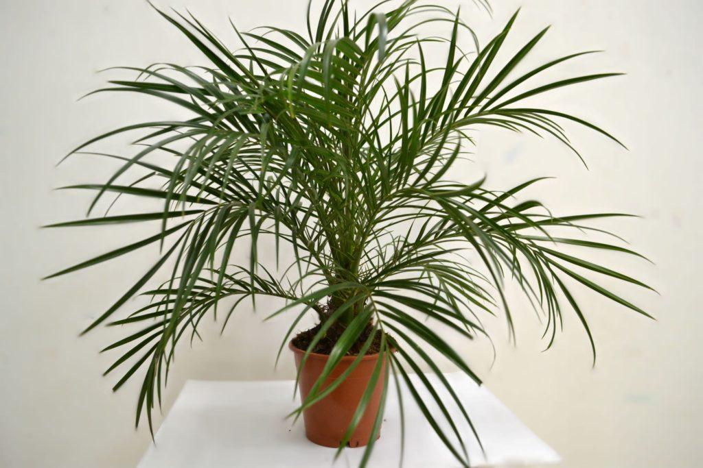 Перистая пальма