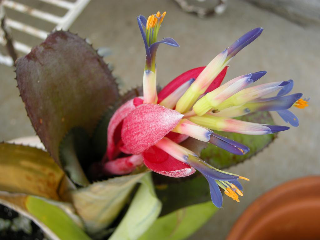 Цветки бильбергии
