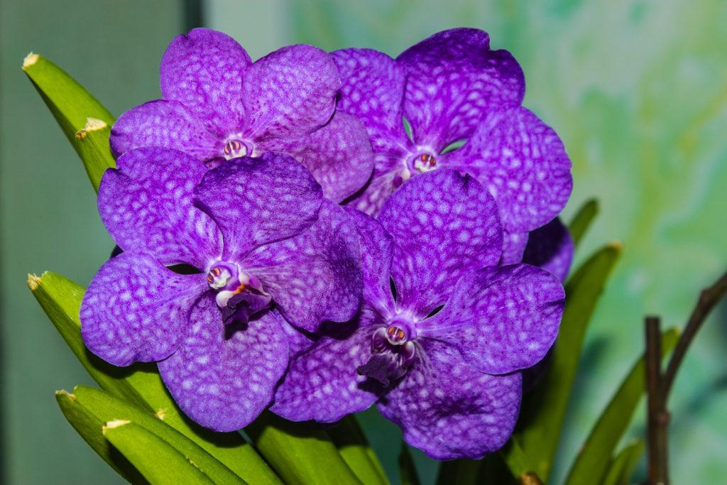 Орхидея ванда в домашних условиях: как выращивать
