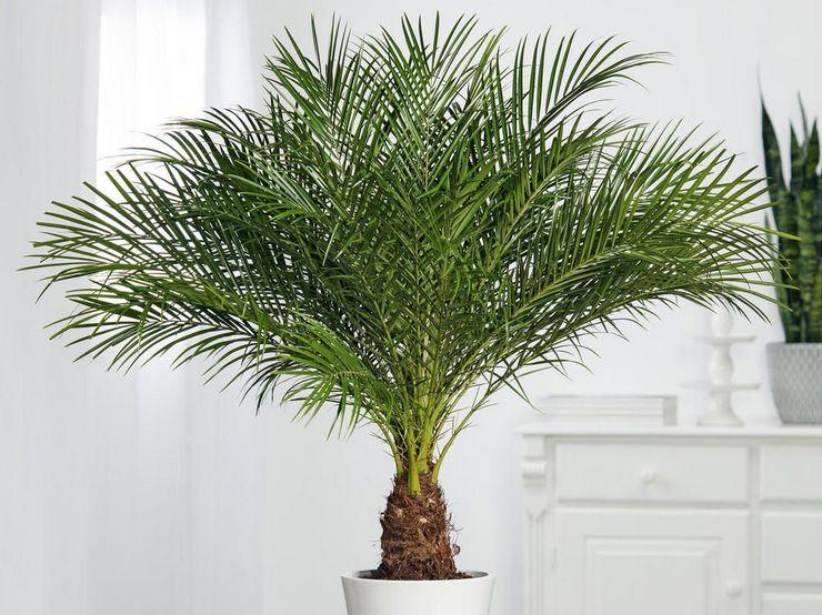 выращивание финиковой пальмы дома
