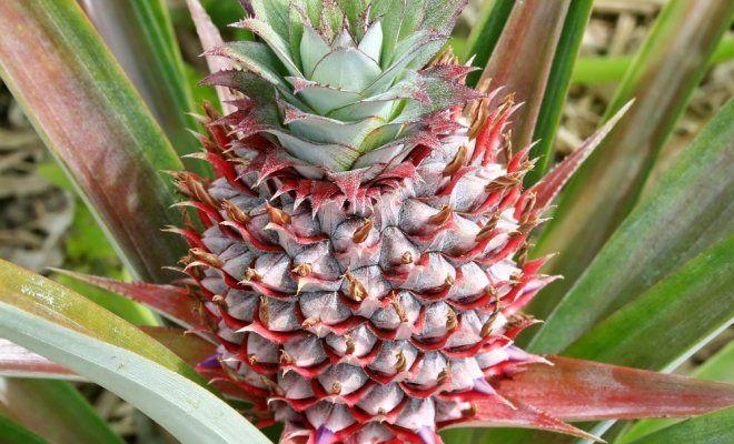 Как самостоятельно вырастить ананас: подробная инструкция