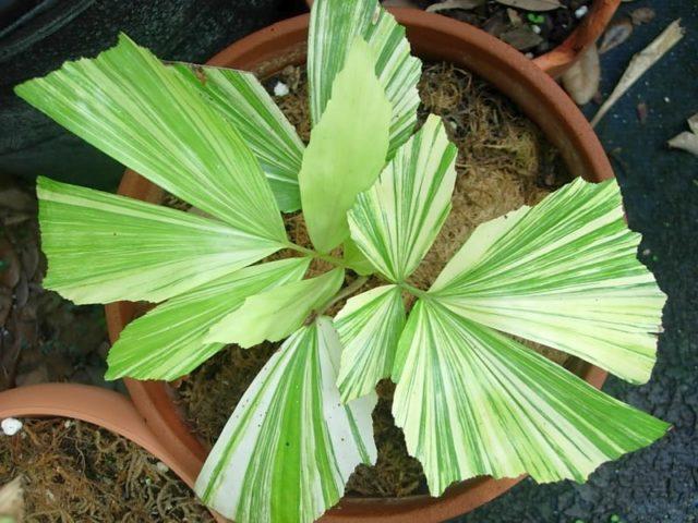 Комнатная пальма Кариота