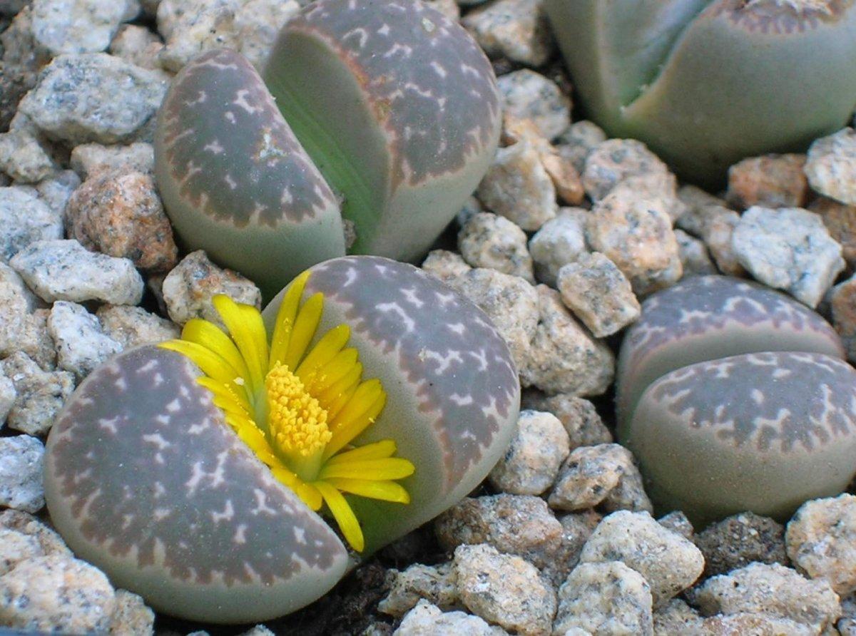 цветок Литопса