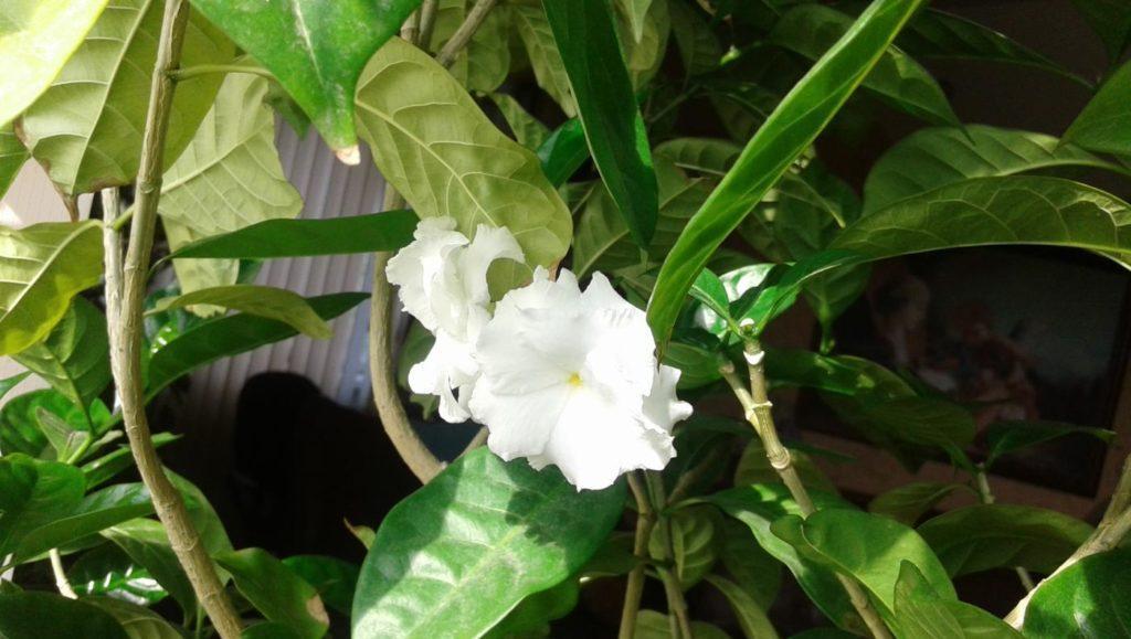 Табернемонтана: выращзивание в домашних условиях, уход и сорта