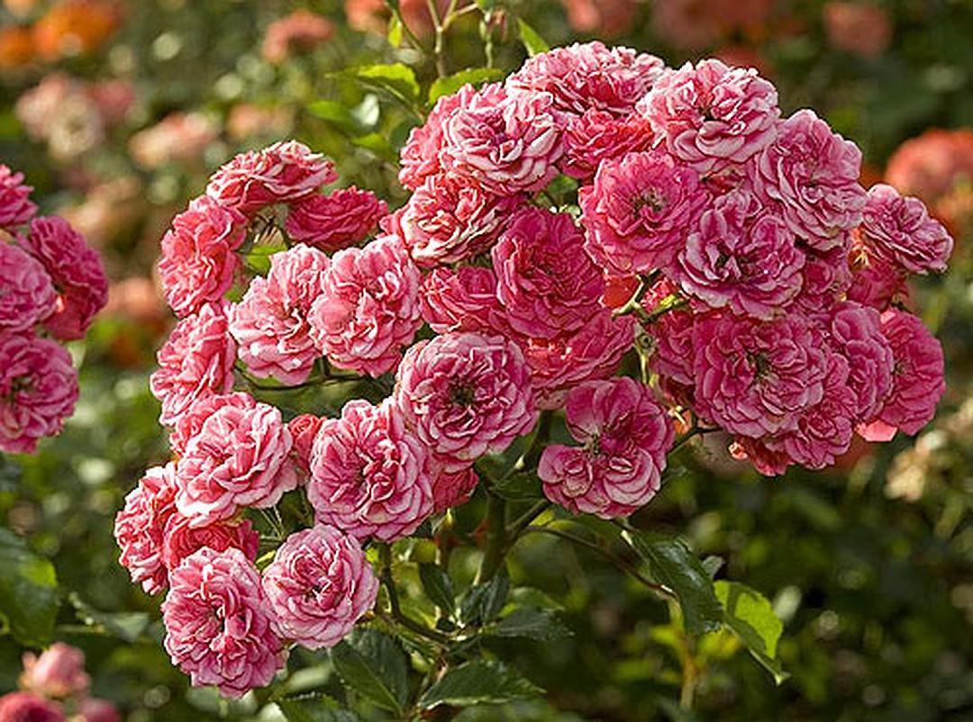 саженцы розы мускусной