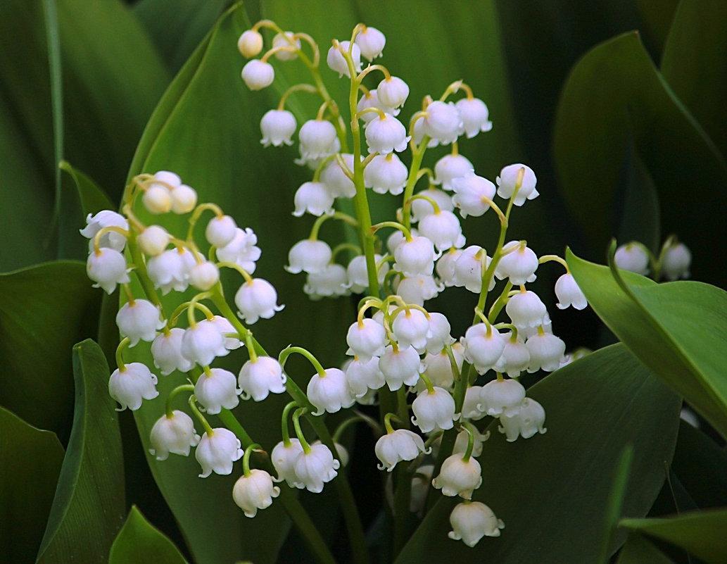 цветки Ландыша