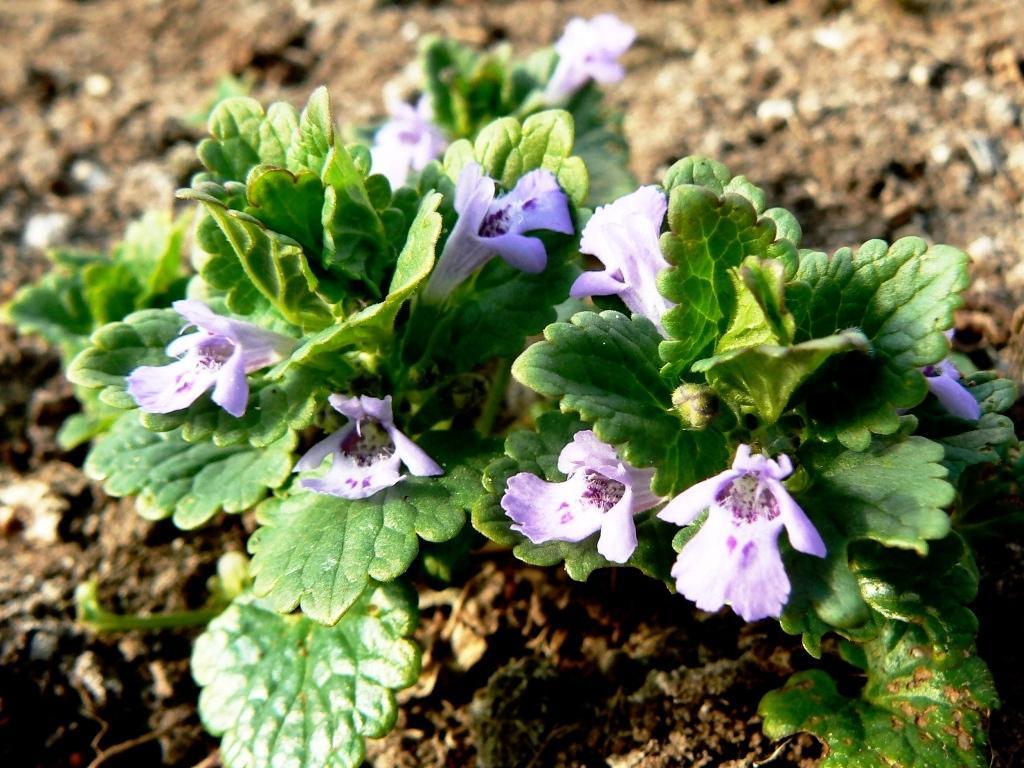 Будра: описание, полезные свойства и применение растения