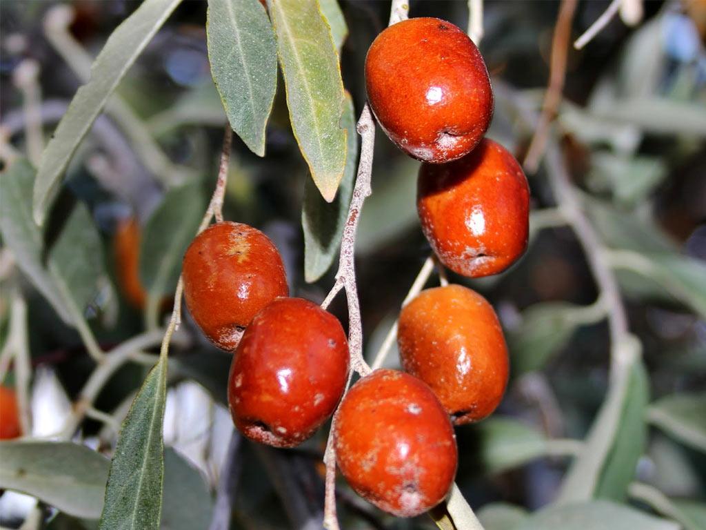 Плоды лоха укзолистного