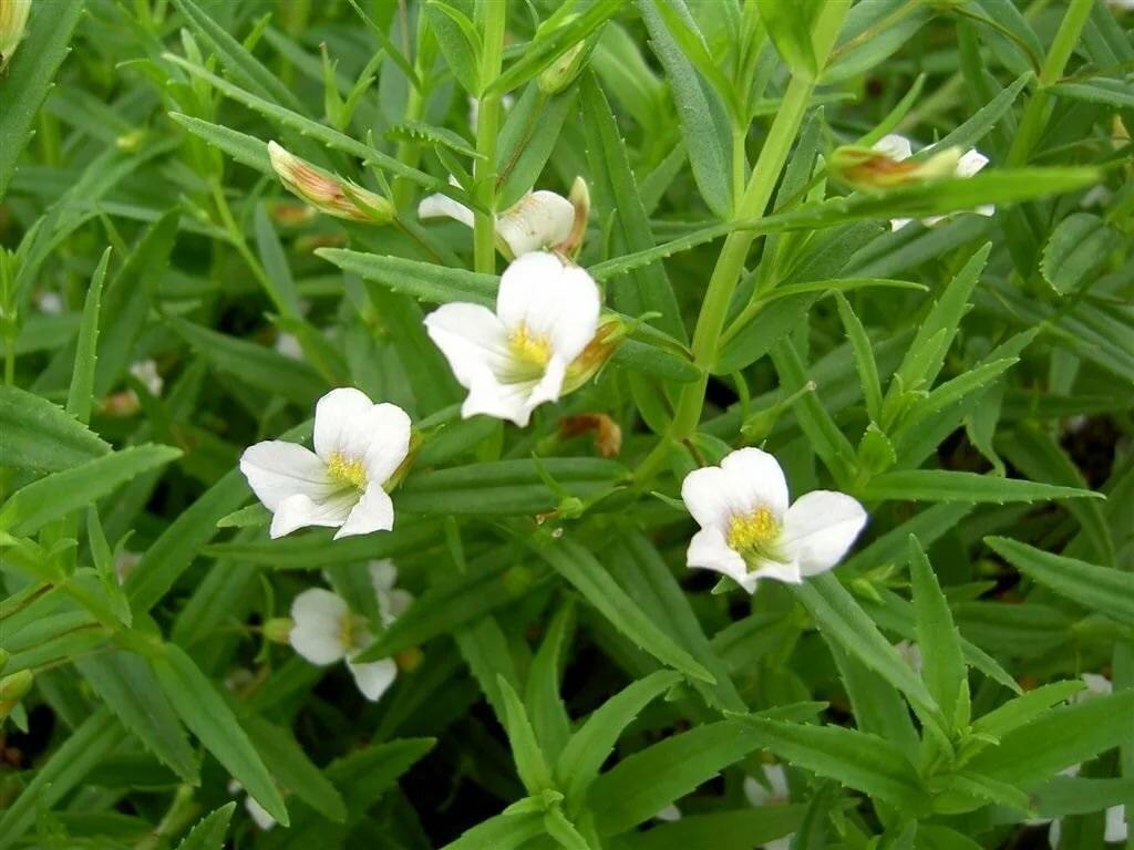 Растение авран