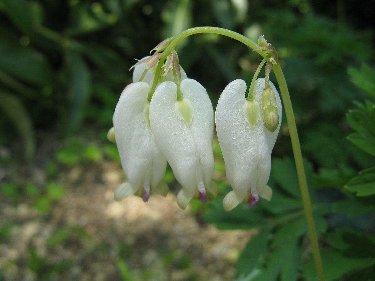 Дицентра: описание и выращивание