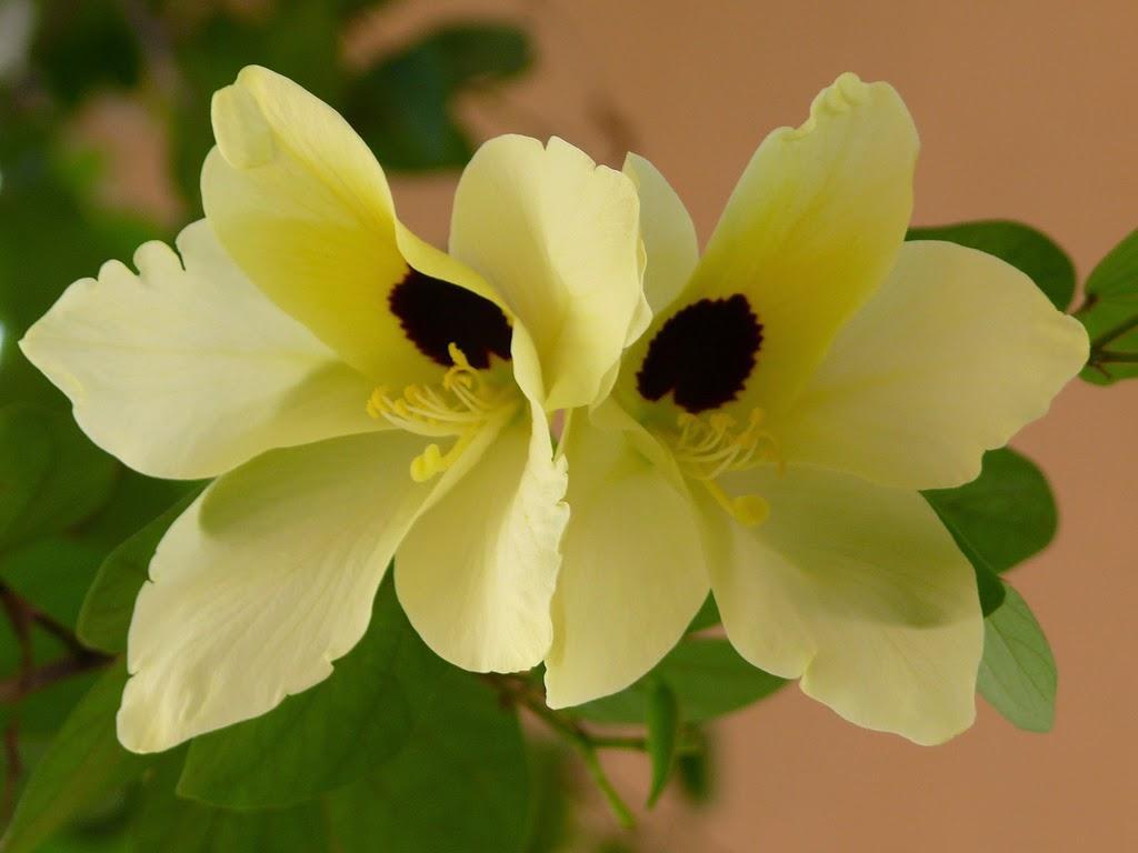 Баухиния: описание и выращивание