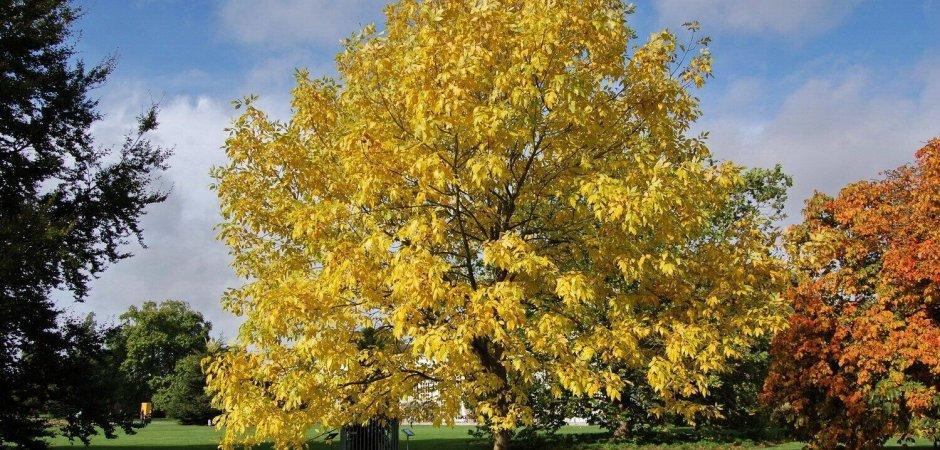 Ясень обыкновенный в парке
