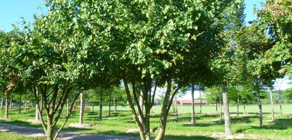 Липа мелколистная: описание, выращивание и применение