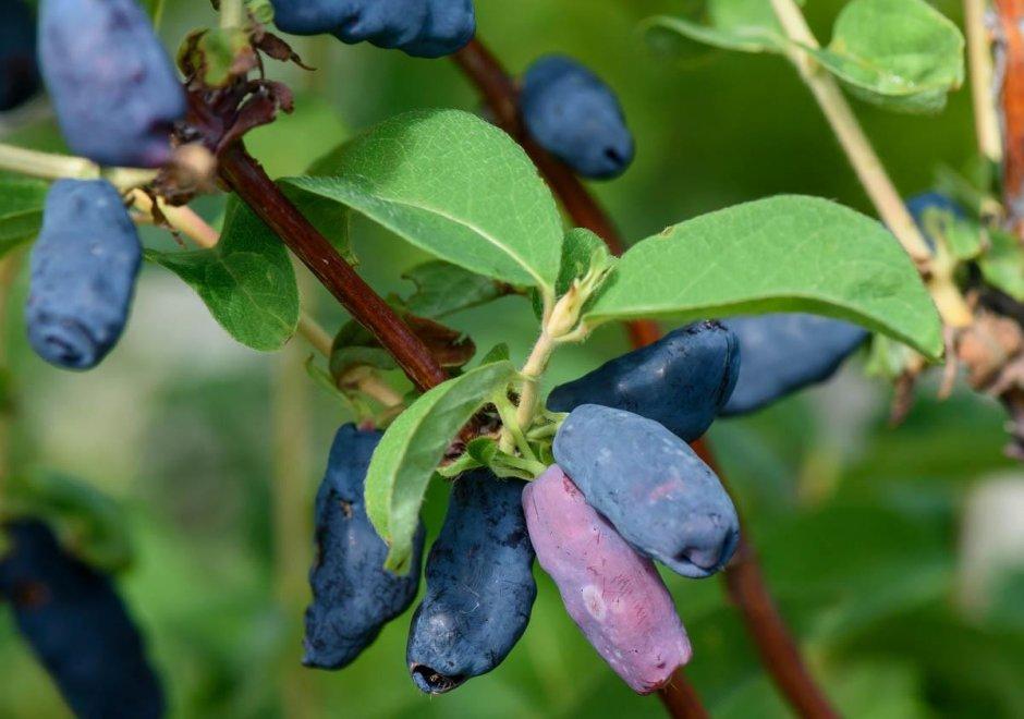 Жимолость для Сибири: лучшие сорта, выращивание и уход