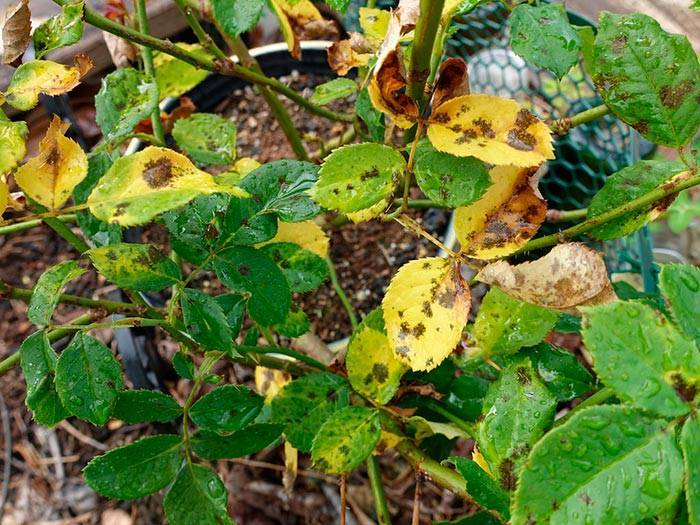 Почему у розы желтеют и опадают листья