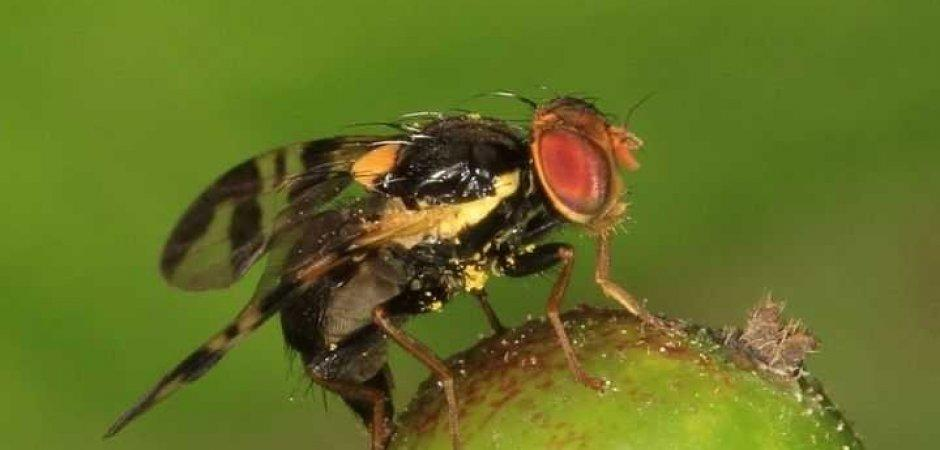 вишневая муха на дереве