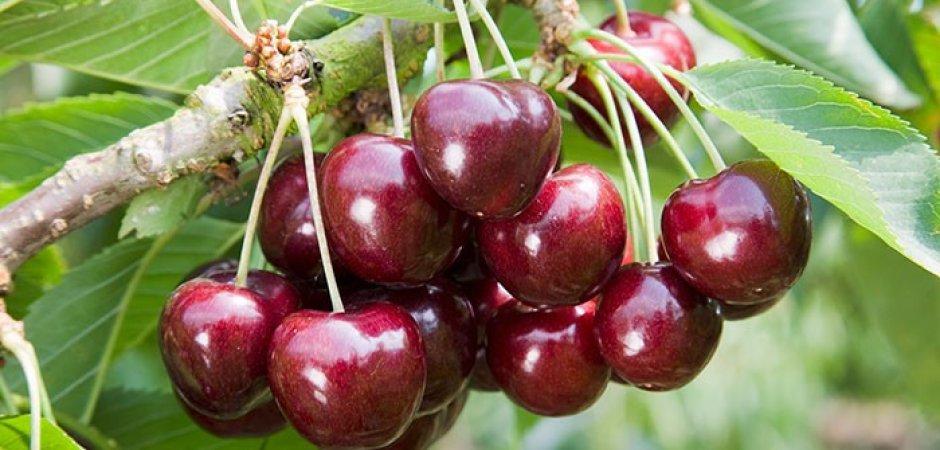 ягоды Черешни Овстуженка