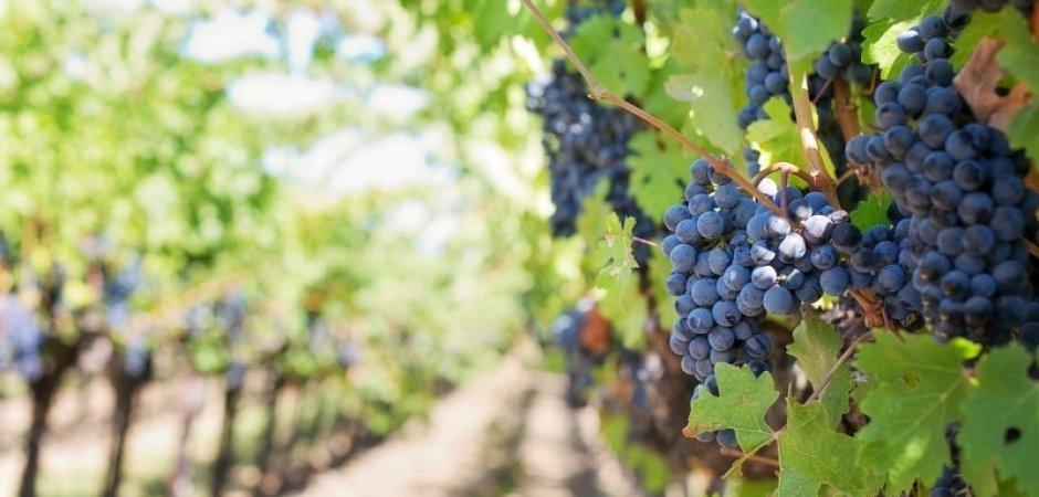 Виды прививок винограда
