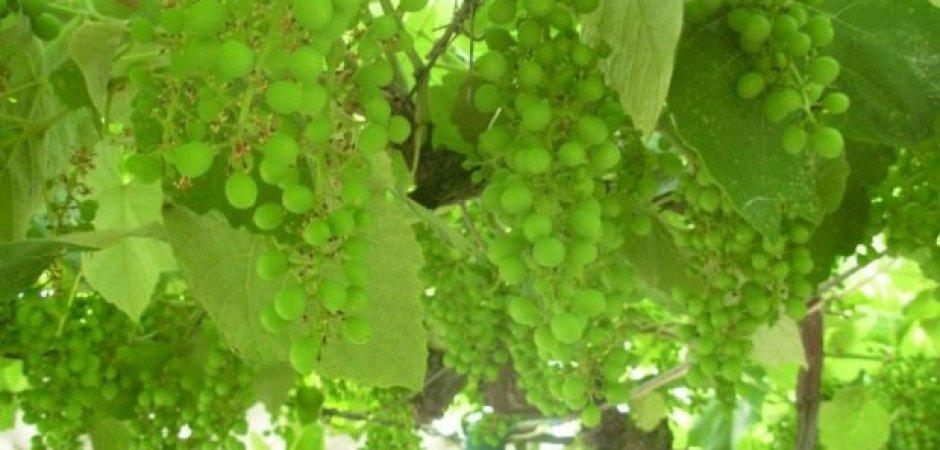 Уход за привитым виноградом