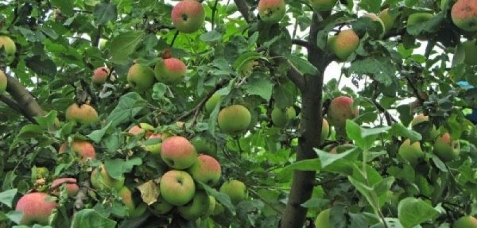 Подкормка карликовых яблонь