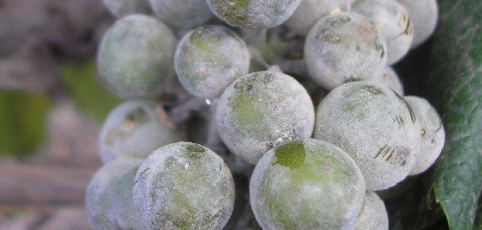 Мучнистая роса на плодах винограда