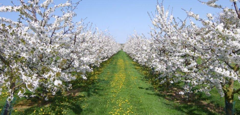 аллея из цветущих вишень