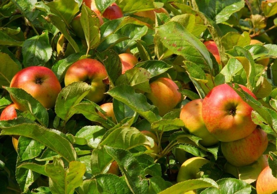 Размножение яблонями отводками и черенками