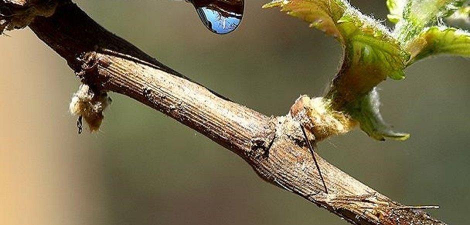 Полив и подкормка винограда весной