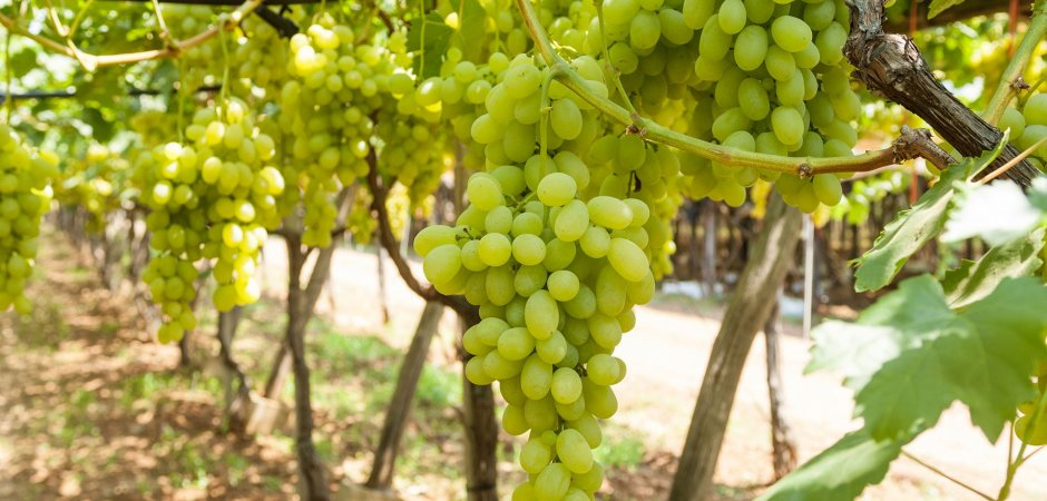 Плоды винограда Бианка