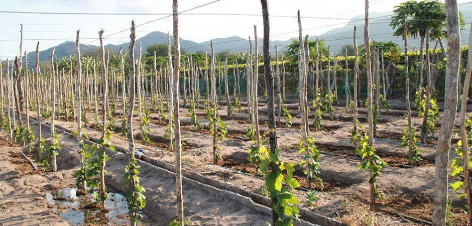Выращивание винограда Бианка