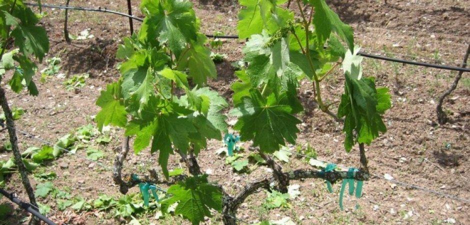 Посадка винограда Руслан