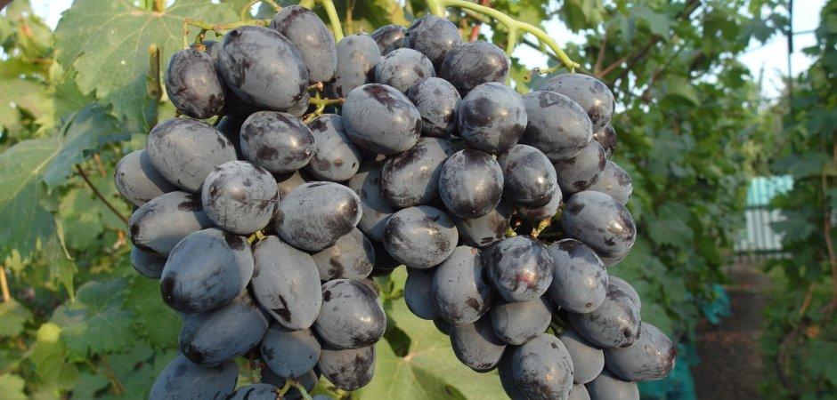 Плоды винограда Руслан