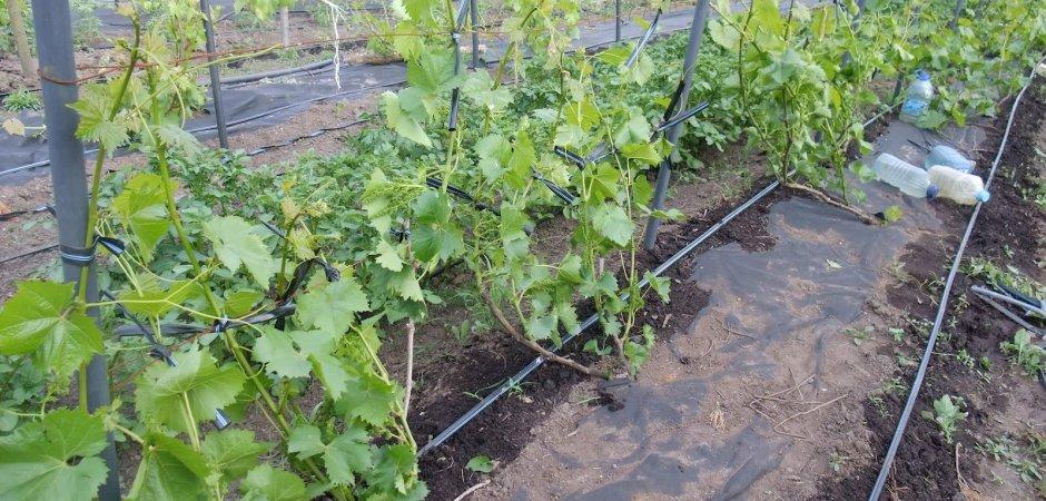 Уход за виноградом Руслан