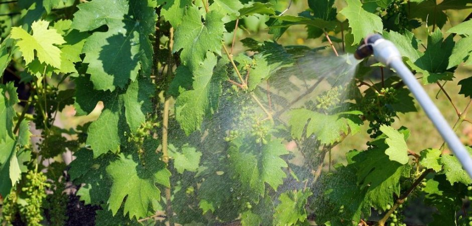 Полив винограда Руслан