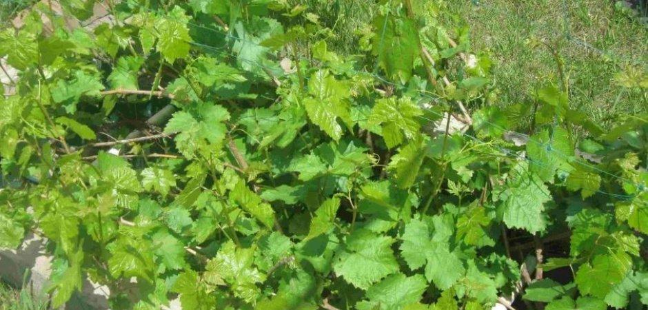 Выращивание винограда Таежный
