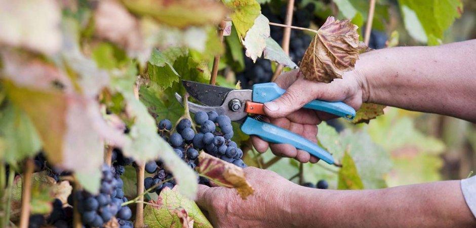 Обрезка винограда Таежный
