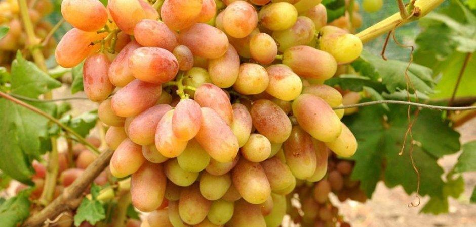 Плоды винограда Юлиан