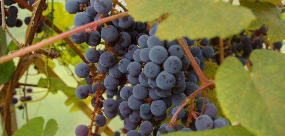 Плоды винограда Зилга