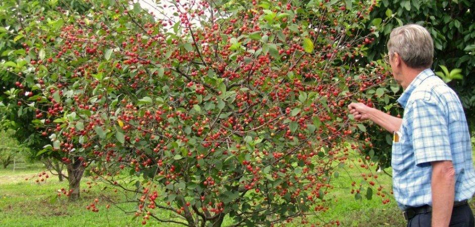 дерево Вишни Тамарис