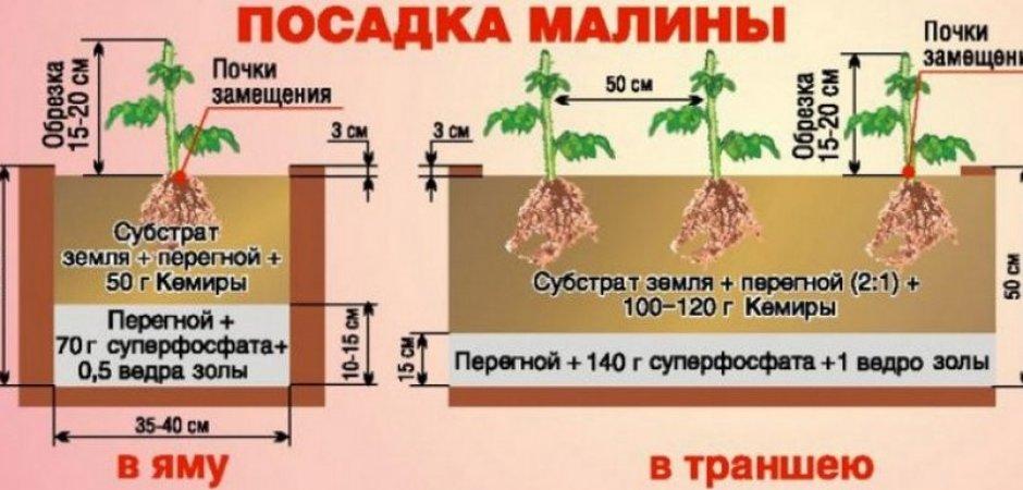 Выращивание и сорта желтой малины