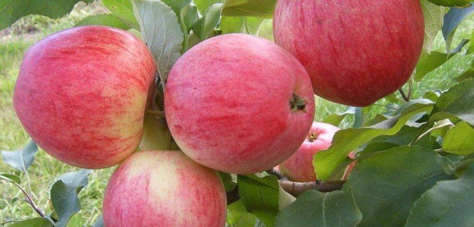 Уход за яблоней Анис Свердловский