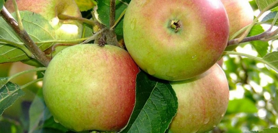 Плоды яблони Братчуд