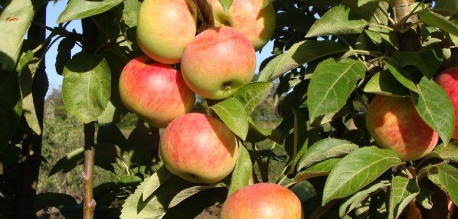 Посадка яблони Валюта колоновидная