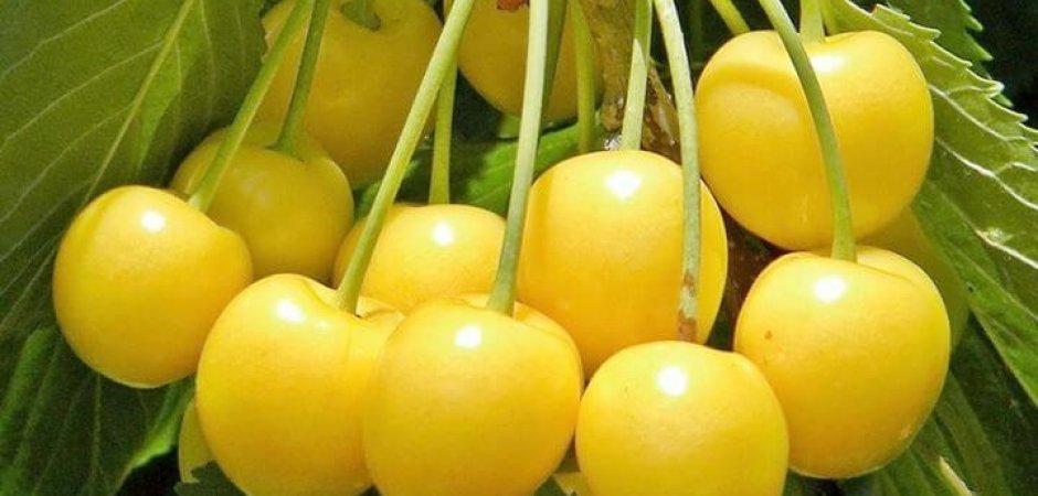 Приусадебная желтая черешня