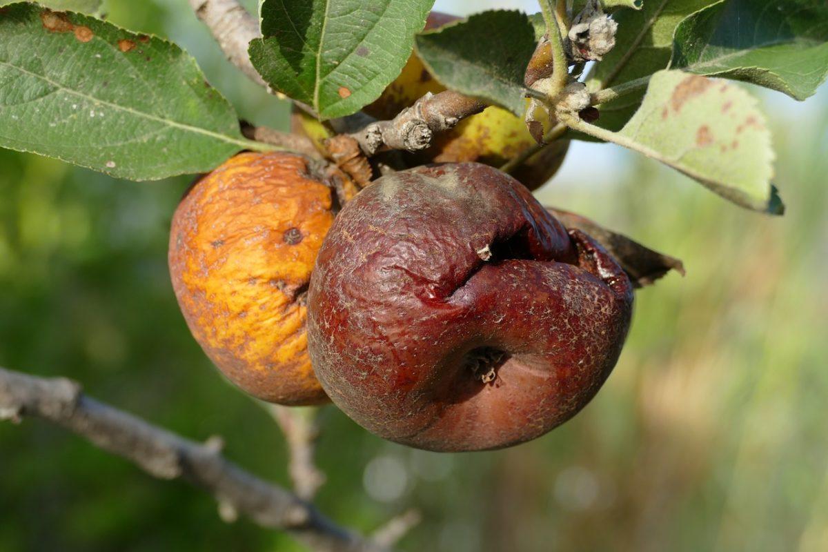 Почему гниют яблоки на яблоне